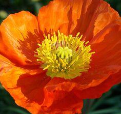 Orange Poppy, Orange Flowers, Poppy Flowers, Acrylic Flowers, Watercolor Flowers, Amazing Flowers, Beautiful Flowers, Poppy Flower Painting, Poppies