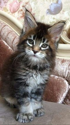 Want to know if Maine Coon Kittens are playful (They are very playful) and what traits they have before you adopt then look no further. Animals And Pets, Baby Animals, Cute Animals, Beautiful Cats, Animals Beautiful, Kittens Cutest, Cats And Kittens, Grand Chat, Chesire Cat