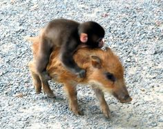 A baby wild boar and a baby snow monkey are friends.