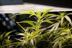 Hydroponics: 10 Advantages to Growing Weed Hydroponically