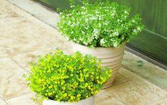 「フルーツの香り、踊る小花」リトルチュチュ(ゴマノハグサ科スコパリア属)の商品ページです。