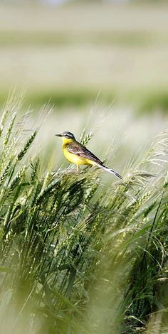 Kansas, the wheat state and the state bird, the meadowlark.