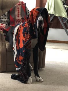 Panzer the Great Dane