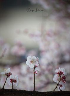 #spring #cherryblossoms #blur #bokeh #floral