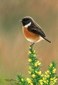 Image result for stonechat bird