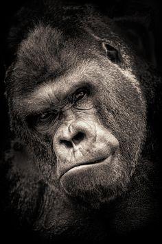 'Mighty' Silverback gorilla by Jesus Martin Mirelis