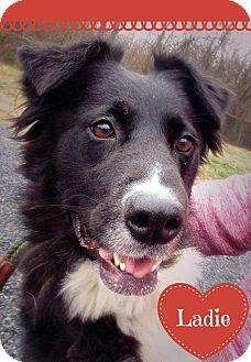 Eden Nc Border Collie Mix Meet Ladie A Dog For Adoption Http Www Adoptapet Com Pet 17445963 Eden North Carol Border Collie Collie Mix Border Collie Mix