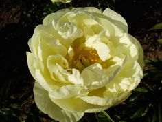 Peonies like the yellow 'Prairie Moon' can have full, semi-doubles and single style peony flowers on the same plant.