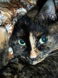 """This is Squeaky-Girl, our late tortoise shell cat. She was fifteen. We miss her. My husband took this glamour photo. She won a local """"Most Beautiful Cat"""" contest with it."""