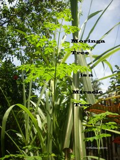 "I added ""What Is Moringa Tree 