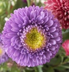 Reine-Marguerite 'Lilliput' - Callistephus chinensis (semis en pleine terre)