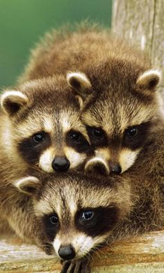 baby raccoons.  I have 2 of these little fellows go through my yard to (where ever) several times a week.  ;)  FUN watching them!