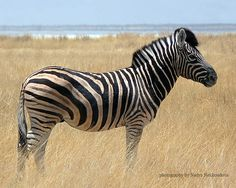 """...  known as a """"Plains Zebra"""", the Burchell's Zebra is anything but """"plain""""! Description from etsy.com. I searched for this on bing.com/images"""