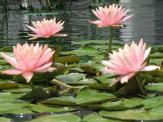 lily pads - Google Search