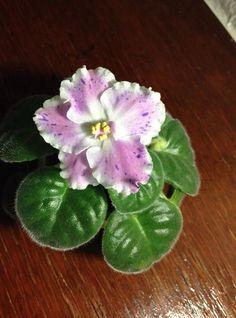[IMG] Saintpaulia, Plants, Princesses, African Violet, Plant, Planets