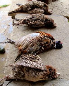 Pheasant Hunting in Idaho