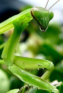 The praying mantis is beneficial to the garden because it hunts and eats many of the insects that can harm your plants.