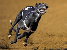 Http://PhotoPixSA.co.za - High speed Greyhound dog race. The ultimate running dog, the greyhound is built for speed. Its long legs and arched back enable it to contract and stretch maximally while executing the double-suspension gallop. It has tremendous muscle mass and light legs, further enhancing speed
