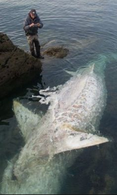 Monster Shark 25 Ft Washes Up Dead On Rocks At British Beauty Spot In Heartbreaking Footage Underwater Creatures, Ocean Creatures, Weird Creatures, Animals And Pets, Funny Animals, Cute Animals, Bizarre Animals, Amazing Animal Pictures, Shark Pictures
