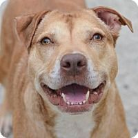 American Pit Bull Terrier Mix Dog for adoption in Philadelphia, Pennsylvania - Bianca