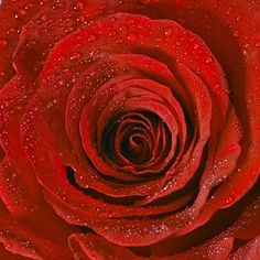 Rose by Charles Welch (Charliebubbles) on http://www.flickr.com/photos/21298507@N04/5715444222