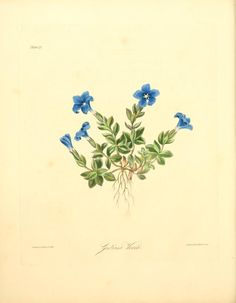 Gentian ~ Floral illustrations of the seasons, consisting of the most beautiful, hardy and rare herbaceous plants cultivated in the flower garden, from drawings (1829)