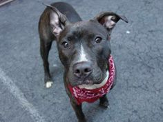 TO BE DESTROYED - 05/03/14 Manhattan Center   My name is WENDY. My Animal ID # is A0997505. I am a female br brindle and white pit bull mix. The shelter thinks I am about 8 MONTHS old.  I came in the shelter as a STRAY on 04/22/2014 from NY 11233, owner surrender reason stated was STRAY.