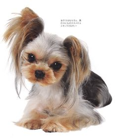 Girly Yorkie Haircut-- I have to see if my roommate will get her dog's hair cut like this.