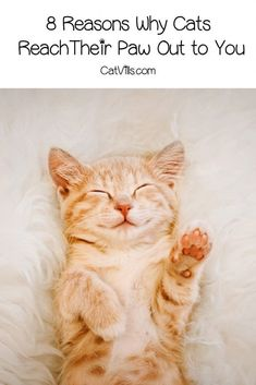 Wondering why your cat reaches their paw out to you and looks at you with their piercing eyes? Read on for 8 potential reasons! Kittens And Puppies, Baby Kittens, Cute Cats And Kittens, Information About Cats, Cat Hacks, Outdoor Cats, Kittens Playing, Cat Behavior, Cat Love