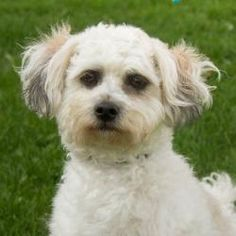 Bentley is an adoptable Bichon Frise Dog in Neenah, WI. Hi there! My name is Bentley! I am a 1 1/2 year old Bichon Frise/Shih Tzu mix. I am a very handsome boy who is very spunky. I like to have a goo...