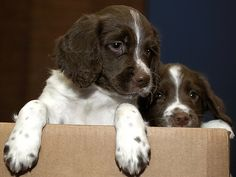 Two young spaniel pups peer timidly out of a box at Greater Manchester Police's Hough End Centre in Chorlton back in 2004.    They came from a litter bred by the Force for training as search dogs. These dogs can be trained to detect a wide range of objects from drugs and explosives to bodies and are a valuable asset.        For more information about the work of Greater Manchester Police's dogs please visit our website.  www.gmp.police.uk