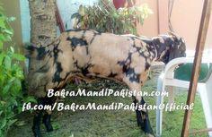 Amir Hamza nay liya tha yeh Bakra ! Allah Pak Qurbani Qubool Fermain Ameen! Join us on www.fb.com/Startfun Visit us www.BakraMandiPakistan.com