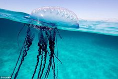 The Portuguese man o' war is recognisable to having giant tentacles as long as five London buses
