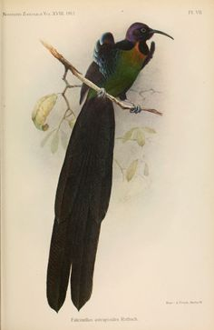 The Astrapian Sicklebill, also known as the Green-breasted Riflebird, is a bird in the family Paradisaeidae that is an intergeneric hybrid between an Arfak Astrapia and Black Sicklebill.