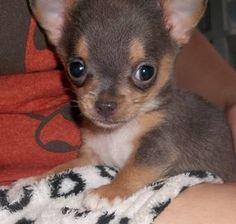 Tiny, Tiny, Blue Chihuahua Puppy!
