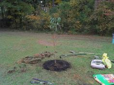 Just planted my first Florida king peach tree.