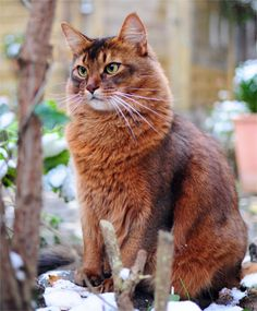 if I am ever to get a cat with longer hair, it will be a somali. Wich is really just the abyssinian with med. length hair
