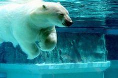 Ľadové medvede neprežijú otepľovanie a topenie ľadu