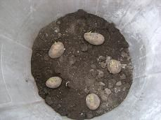 Potatoes grown in a trash can! Funny post and informative...Now if I only could plant a trash can potato in my sunny front yard.