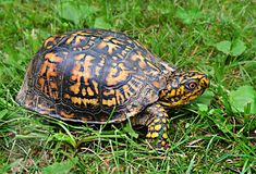 Turtles That Stay Small, Small Pet Turtles, Box Turtles, List Of Small Pets, Reptiles, Amphibians, Turtle Diet, Eastern Box Turtle, Animals That Hibernate