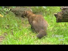 Looking for wildlife? Don't shoot! Contact http://www.stockshot.nl/ ©  Follow us on Twitter: http://twitter.com/tvgreen   Follow us on Pinterest: http://pinterest.com/faunafilm/   - boommarter, edelmarter - European Pine Marten - Pineten, baum marten, sweet marten - Martes martes - Baummarder, Edelmarder - Skovmåren- marta - martora, martora eurasiatica - Mård, skogsmård, trädmård - Ağaç sansarı - Europeisk mår