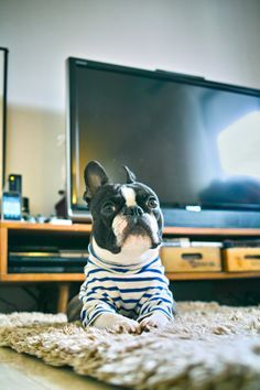 Love the striped turtleneck on this Boston terrier!