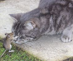 The real-life Tom and Jerry: Captured mouse stands his ground and hits cat back in 10-minute battle before escaping