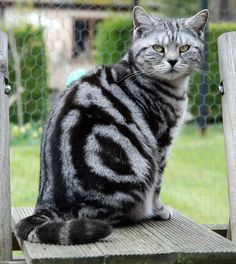 Black Classic Tabby British Shorthair Cat | British shorthair, cat, girl, Kent, silver, black, spotted, tabby ...