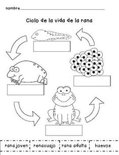 Frog Life Cycle in Spanish by Amy Maendel Spanish Classroom Activities, Frog Activities, Spanish Teaching Resources, Montessori Activities, Language Activities, Spanish Lessons, Kindergarten Activities, Lifecycle Of A Frog, Elementary Spanish
