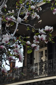 Magnolias blooming in the French Quarter.