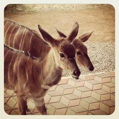 Nyala, Sondela Nature Reserve (South Africa) Types Of Animals, Nature Reserve, Animals Beautiful, South Africa, Giraffe, Creatures, Lovers, Pets, Cutest Animals