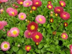 SHADE FLOWERS little english buttons. I have these & they seem to like Sun or shade Shade Flowers, Types Of Flowers, Summer Flowers, Love Garden, Shade Garden, Garden Plants, Plants That Like Shade, Shade Plants, Outdoor Landscaping