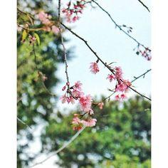 【con_cua_cau_khinh】さんのInstagramをピンしています。 《桜が大好き #桜 #さくら #サクラ#櫻 #花#花見#japan #cherryblossom #blossom #pink #pinky #datlat #travelphotography #travel #travelgram #nature #flower #flowers #flowerstagram #flowerslovers #flowersofinstagram #photography #photoofday #photooftheday #snapseed #season #spring》