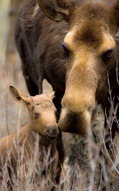 Mother moose and newborn calf. Calf(https://www.etsy.com/shop/JoshColeImaging?ref=unav_listing-r)
